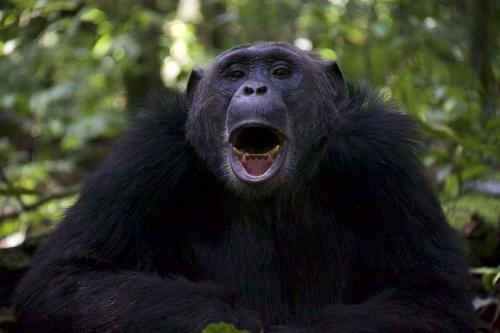 Gapende chimp