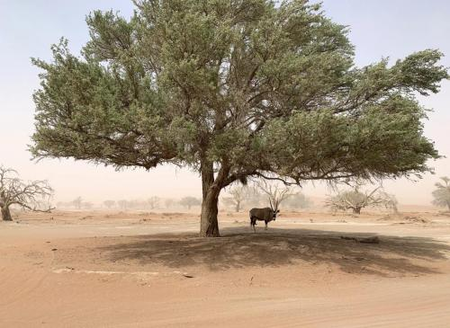 Gemsbok on tree