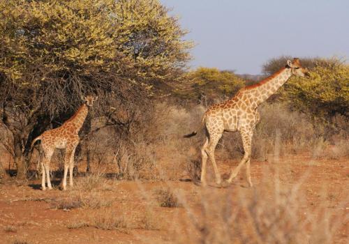 Giraf family