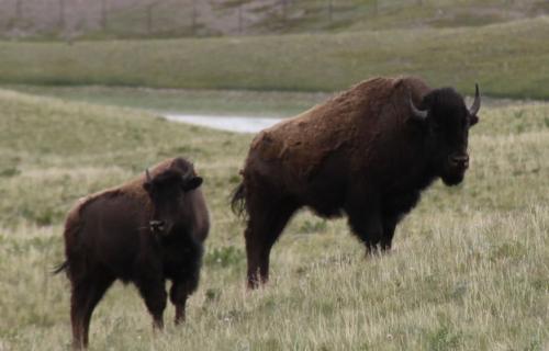 Glacier NP - bisons