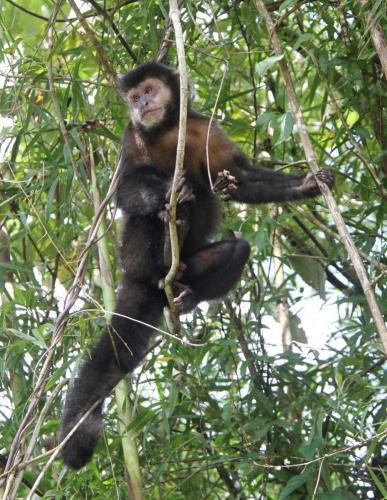 Iguazu falls - Capuchin monkey
