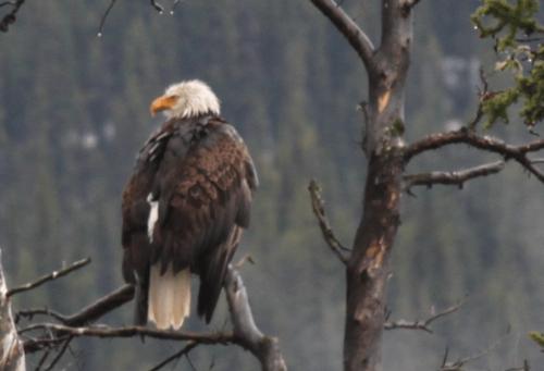 JAsper - bald eagle