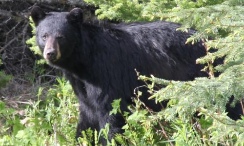 Jasper - zwarte beer