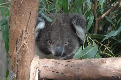 KI - Koala
