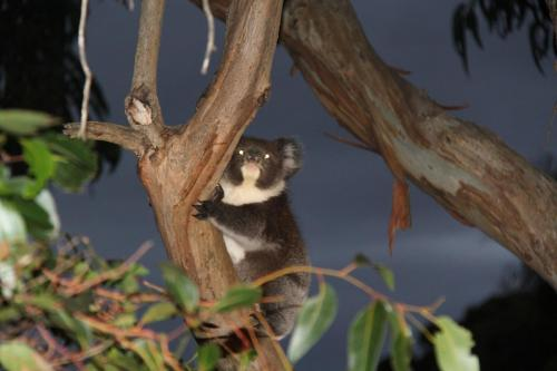 KI - baby koala