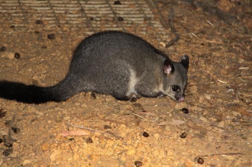 KI - wombat