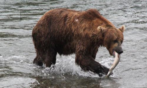 Katmai - salmon catch kop in mond