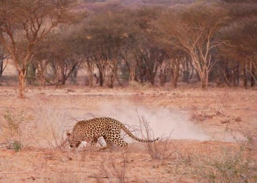 Leopard attacking