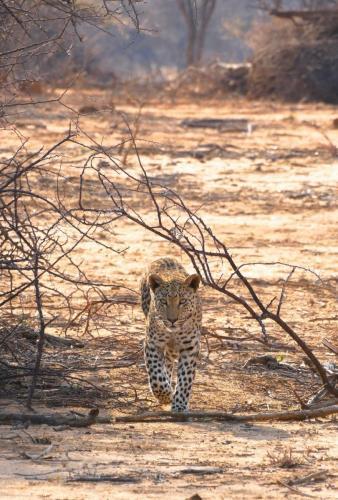 Leopard run into