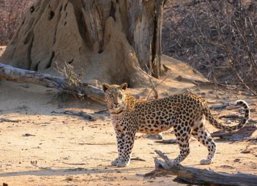 Leopard stay