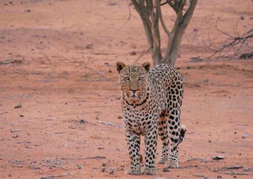 Leopard upfront