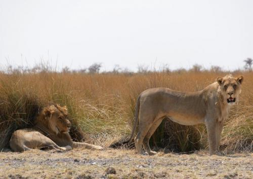 Lions couple searching