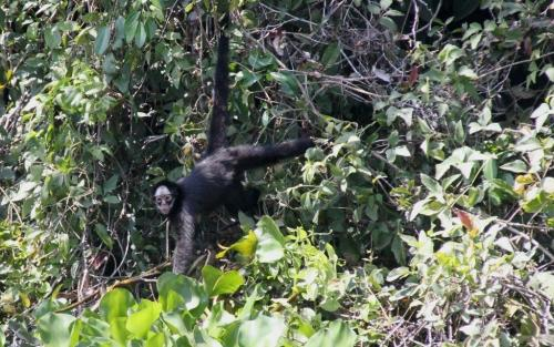 Mata Grosso - Spider Monkey
