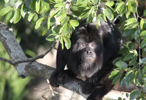 Mato Grosso - Black Howler