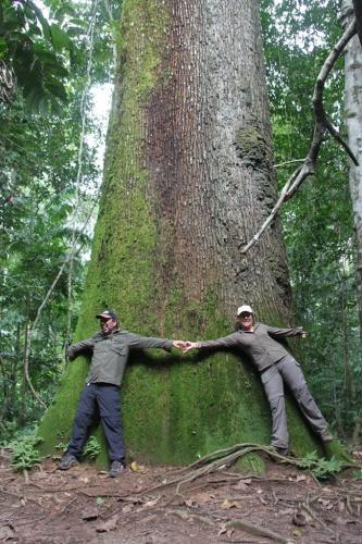Mato Grosso - Brazilian Nuts tree