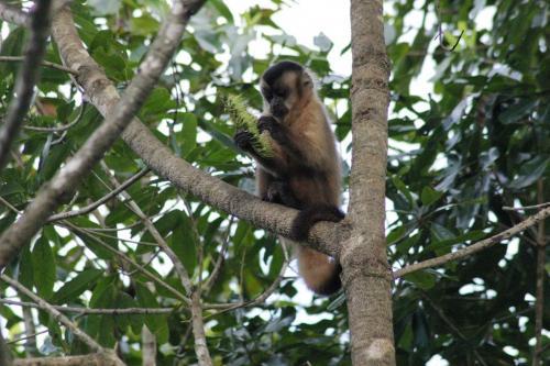 Mato Grosso - Brown Capuchin