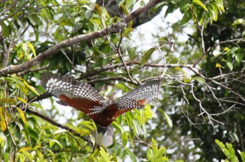 Mato Grosso - Flying Bird