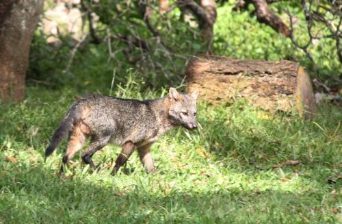 Mato Grosso - Fox