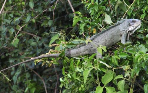 Mato Grosso - Iguana