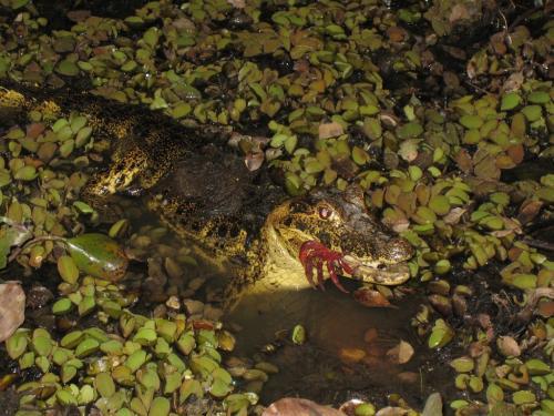 Mato Grosso - Kaaiman & crab