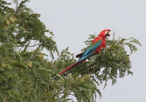 Mato Grosso - Macaw arara vermelha