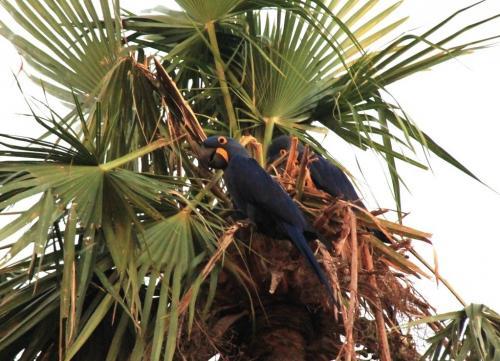 Mato Grosso - Macaw araras