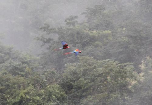 Mato Grosso - Macaw scarlet