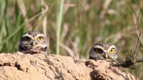 Mato Grosso - Owl