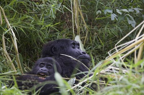 Mom & sun gorilla