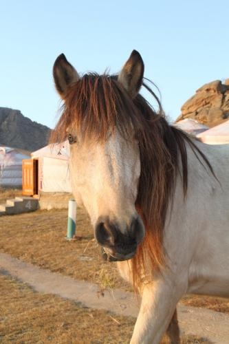 Mongolia - Paard close up