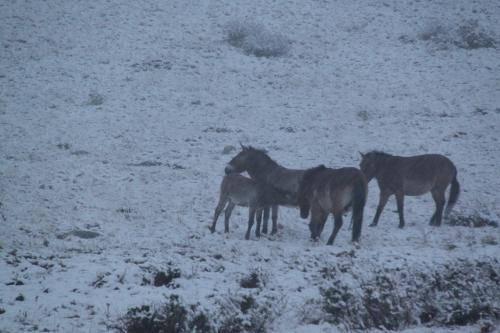 Mongolia - Takhi in sneeuw