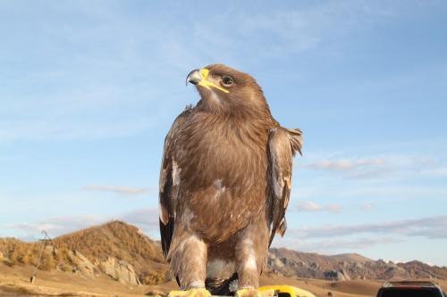 Mongolia - adelaar