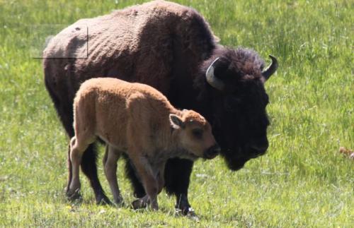 Mt Rushmore - bisonder dier