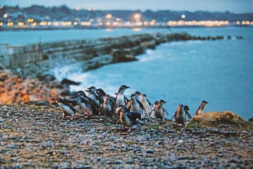 NZ - Pinguins waggelen naar land