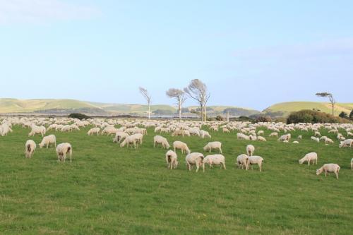 NZ - schaapjes