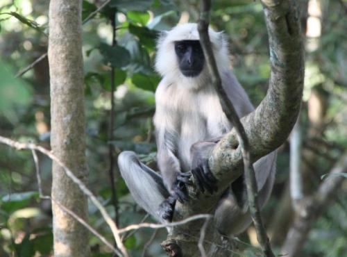 Nepal - Monkey