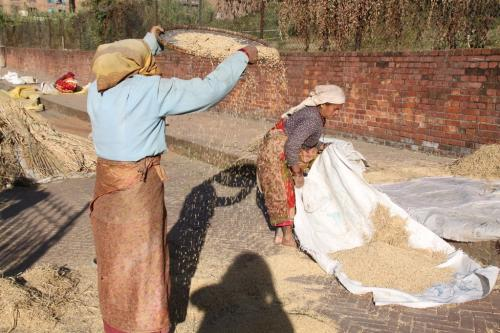 Nepal - Rijst drogen