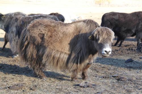 Nomaden - Grijze yak