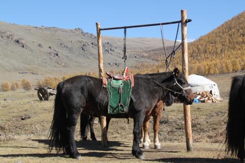 Nomaden - Paarden gezadeld
