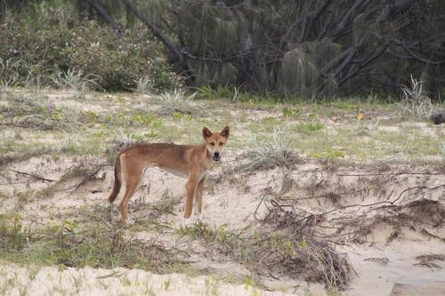 QLD - Fraser Dingo
