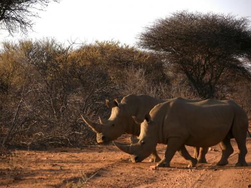 Rhinos walk