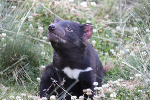 TAs - Tasmanian devil