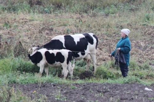 Trans Siberian - koeienherder