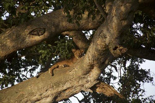 Tree climbing young lion