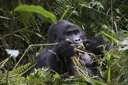 Veggie gorilla
