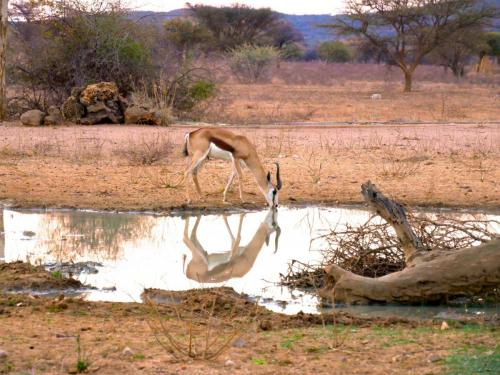 Waterhole springbok