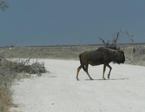 Wildebeest crossing road