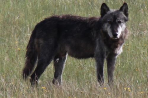Yellowstone - wolf donkergrijs