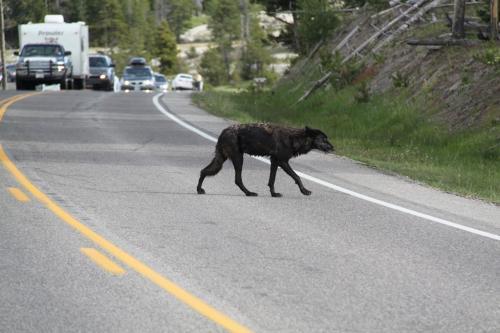 Yellowstone - zwarte wolf