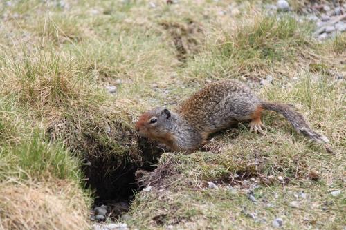 Yoho - eekhoorn
